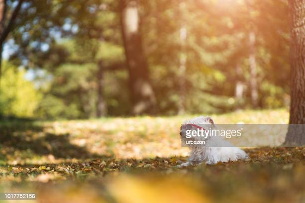 white schnauzer lying  on the ground - shade stock pictures, royalty-free photos & images