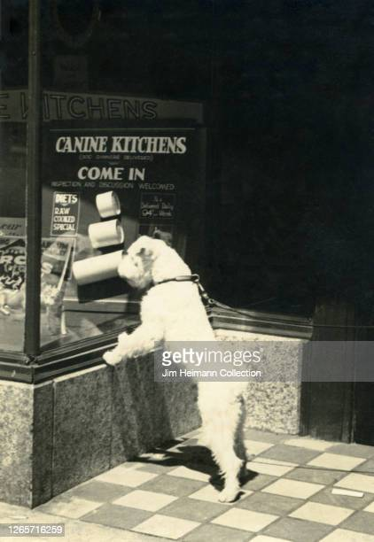 White, scruffy dog stands on its hind legs to look through the window of Canine Kitchens dog food company, 1922.