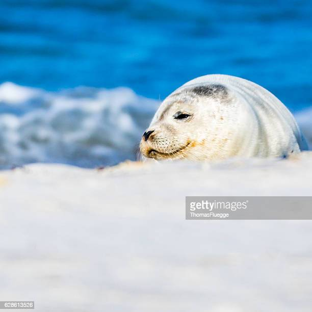 White Seal Baby