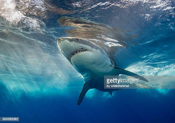 white shark and surface reflections - great white shark stock photos and pictures