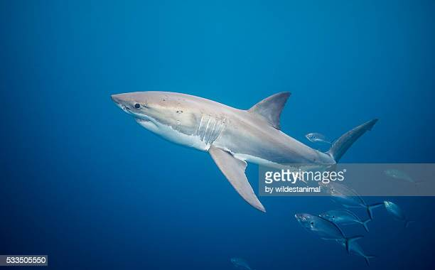 white shark and trevally - ilha netuno - fotografias e filmes do acervo