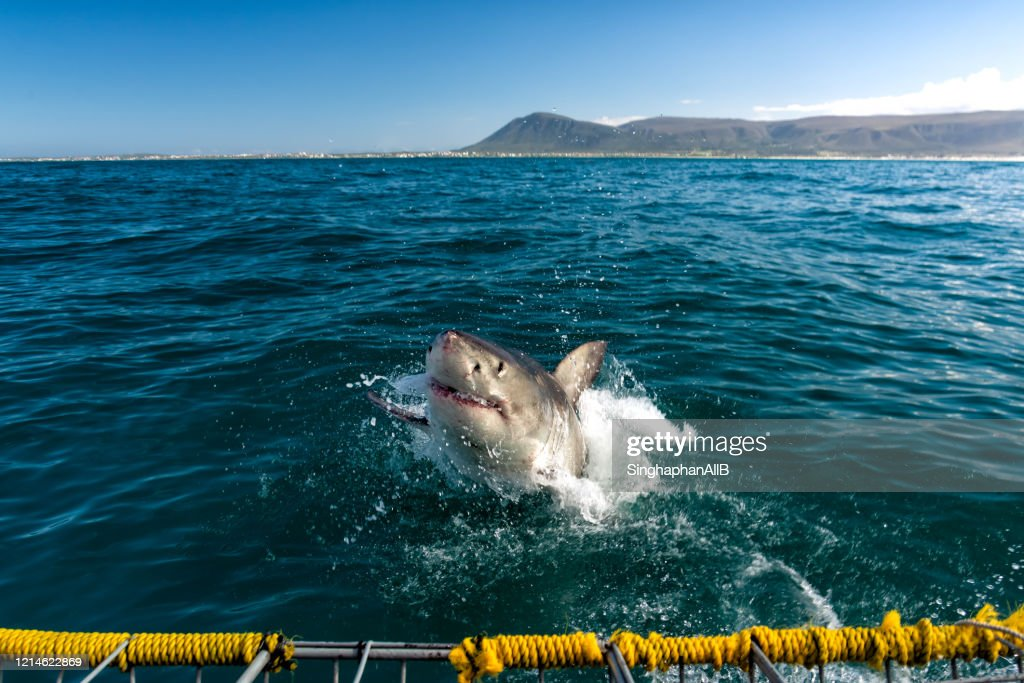 White shark appears above the sea surface at Gansbaai, cape town, south Africa : Stock Photo