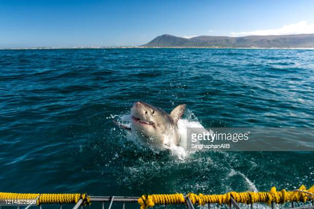 white shark appears above the sea surface at gansbaai, cape town, south africa - shark stock pictures, royalty-free photos & images