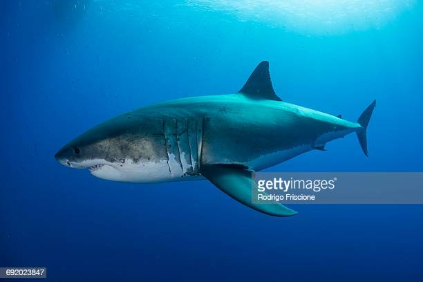 white shark approaches a piece of bait in front of a cage placed for divers, guadalupe island, mexico - great white shark stock photos and pictures