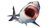 White shark marine predator