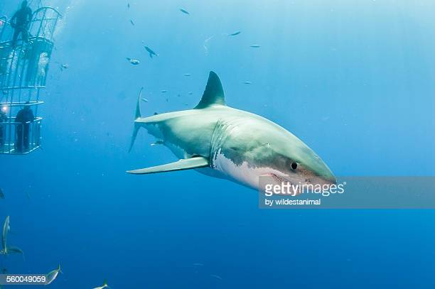 white shark - great white shark stock photos and pictures