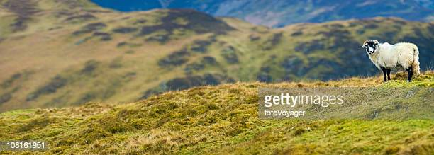 white sheep on green mountain top - one animal stock pictures, royalty-free photos & images