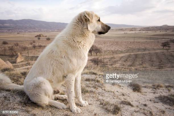 White shepherd dog