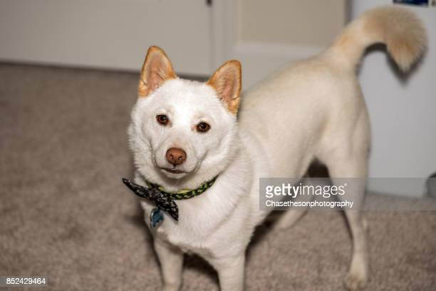white shiba inu puppy wearing bow tie