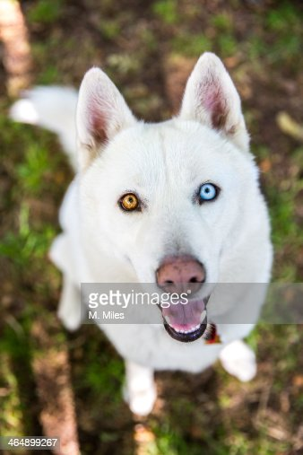 white siberian husky dog with different color eyes stock