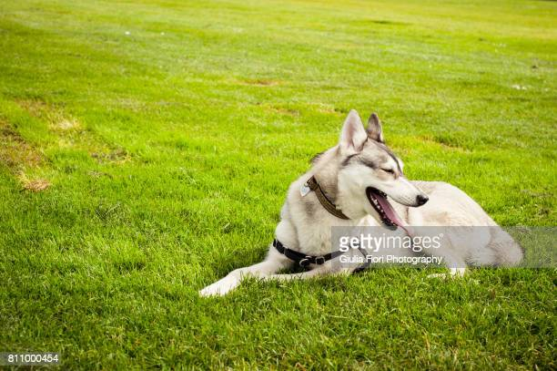 60 Top Siberian Husky Pictures, Photos, & Images - Getty Images