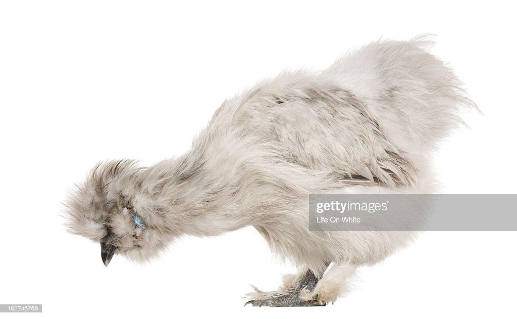 White Silkie chicken : Stock Photo