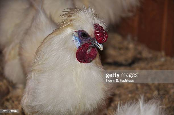 White silkie rooster indoors