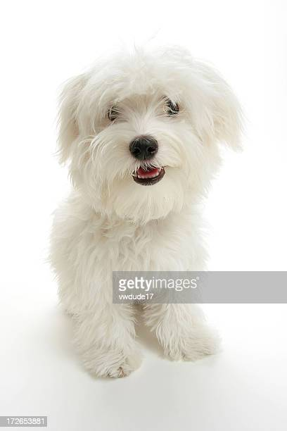 A white small puppy looking at the camera