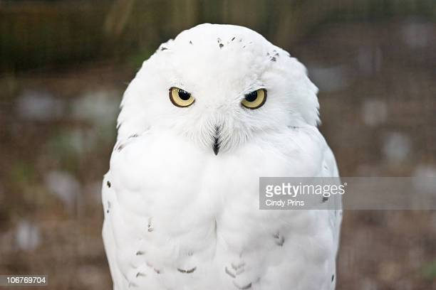White snow owl staring straight in the lens