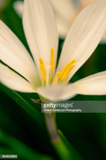 White snowdrop flower