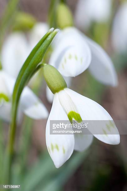 white snowdrop - snowdrop stock pictures, royalty-free photos & images