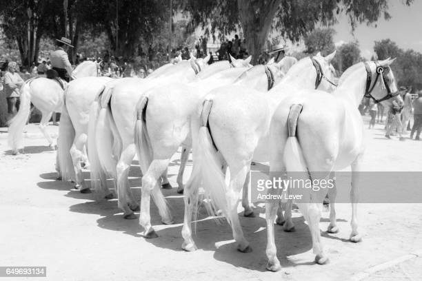 white spanish horses - jerez de la frontera stock pictures, royalty-free photos & images