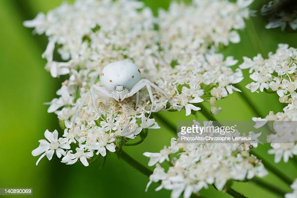 White spider on Queen Anne's Lace