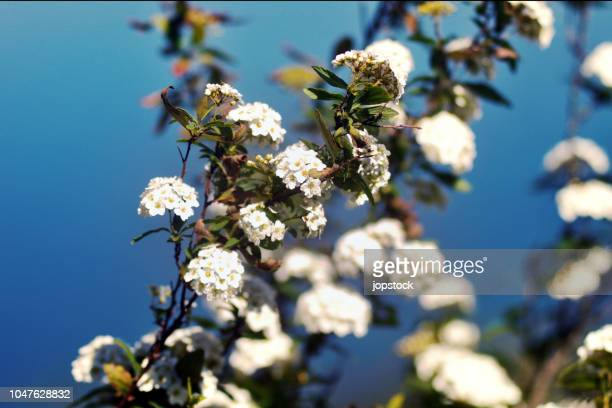white spiraea cantoniensis or reeve's spiraea flowers - {{asset.href}} stock pictures, royalty-free photos & images
