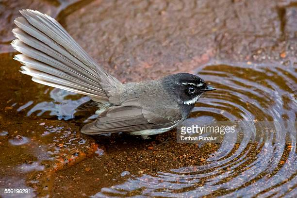 White spotted Fantail Flycatcher