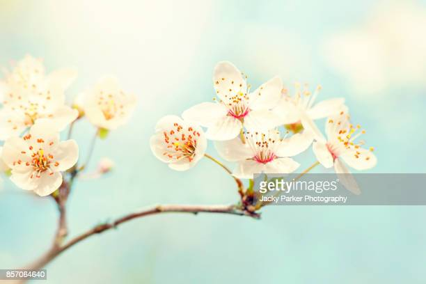 white spring blossom against a sunny blue sky - lymington stock photos and pictures