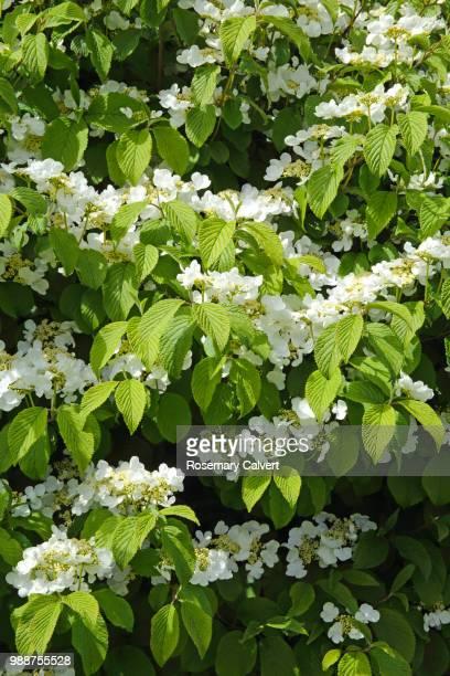 White spring flowering shrub, Viburnum tomentosum.