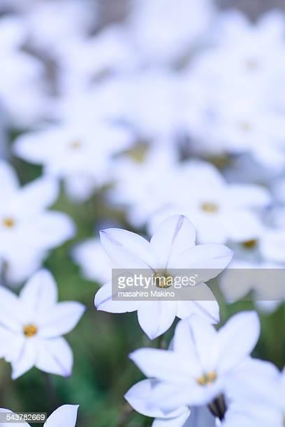white spring starflowers - estrella de los reyes magos fotografías e imágenes de stock