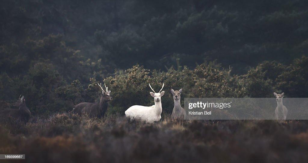 White stag : Stock Photo