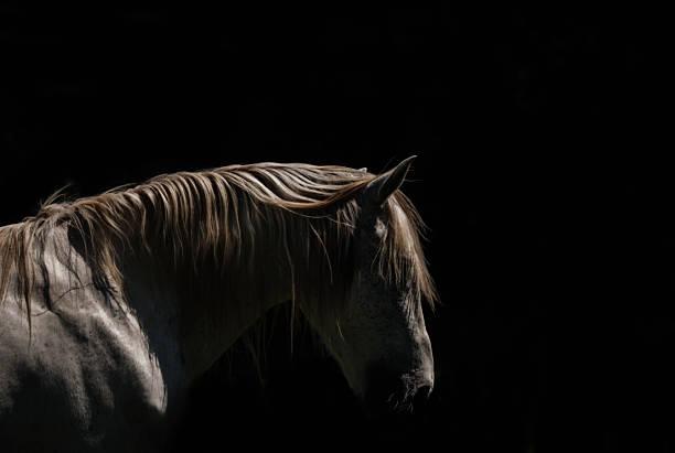 White Stallion - Black Background Wall Art