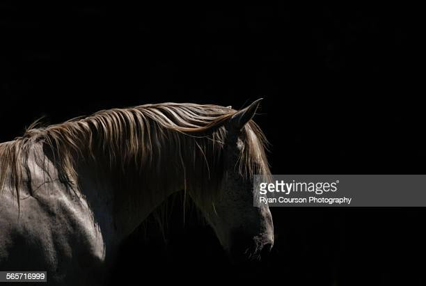 White Stallion - Black Background