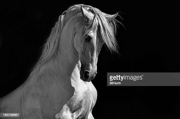 White Horse Stock Photos And Pictures
