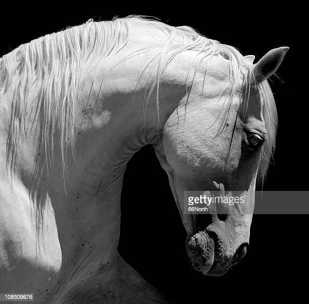 white stallion horse andalusian bw - iberian stock photos and pictures