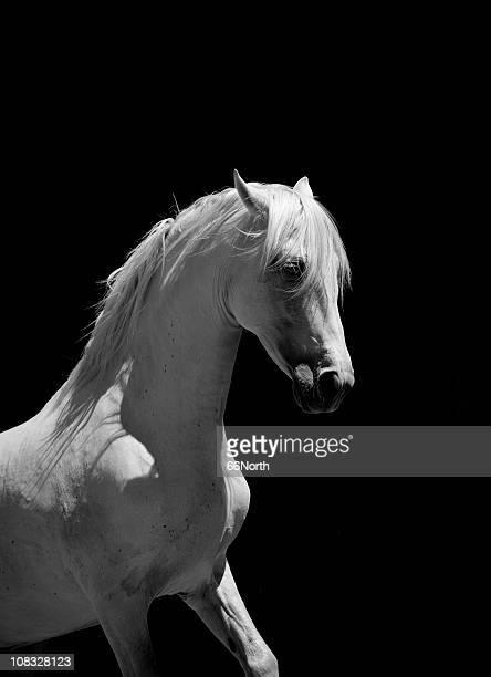 cavalo branco cavalo andaluz bw - alto contraste - fotografias e filmes do acervo