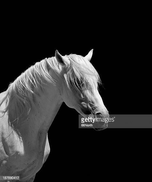 Weißer Hengst Pferderennen andalusischen BW