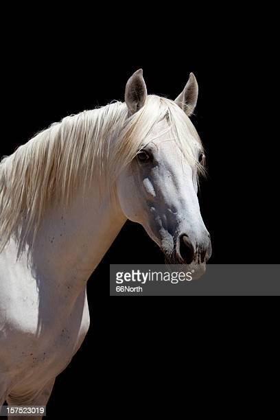 White Stallion Horse Andalusian Color