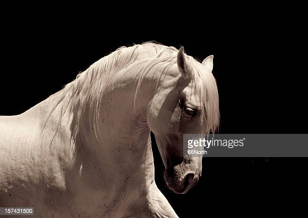 white stallion horse andalusian - high contrast stock pictures, royalty-free photos & images