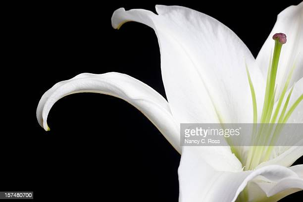 white stargazer lily, flower, petals, isolated-on-black, close-up, copyspace - stargazer lily stock photos and pictures
