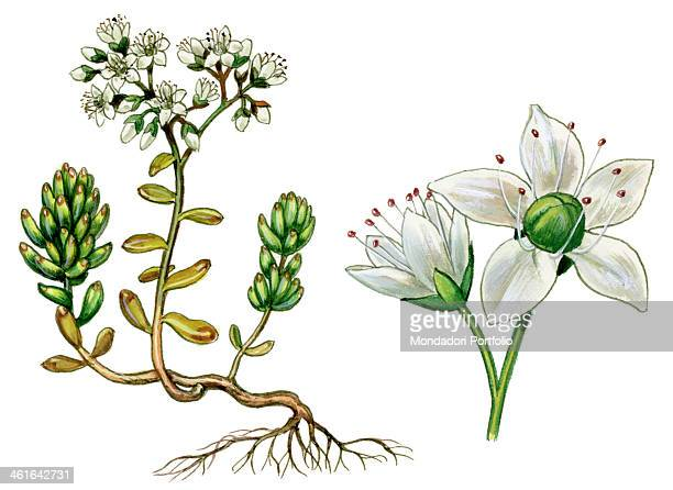 White stonecrop by Giglioli E 20th Century ink and watercolour on paper Whole artwork view Drawing of the plant with flowers