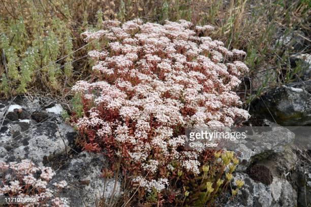 white stonecrop sedum album - image photos et images de collection