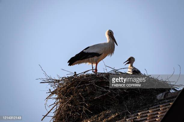 A white stork an its chick stand in their nest at sunset on May 20 2020 near Avenches western Switzerland where dozens of this longdistance migrant...