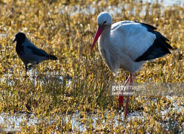 White stork and a hooded crow look for food in Bad Freienwalde, Germany, 04 March 2013. For many years, this stork is one of the first of its species...