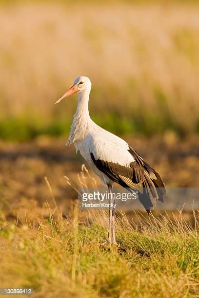 white stork (ciconia ciconia), apetlon, burgenland, austria, europe - vista lateral stock pictures, royalty-free photos & images