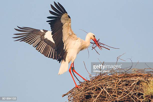 White Stork -Ciconia ciconia- with nesting material landing on nest, Hesse, Germany
