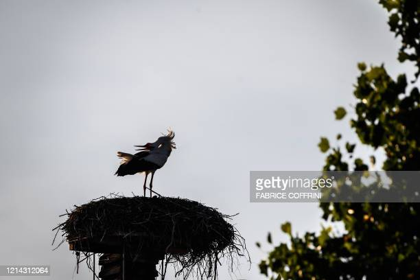 A white stork claps its beak in its nest at sunset on May 20 2020 near Avenches western Switzerland where dozens of this longdistance migrant bird...