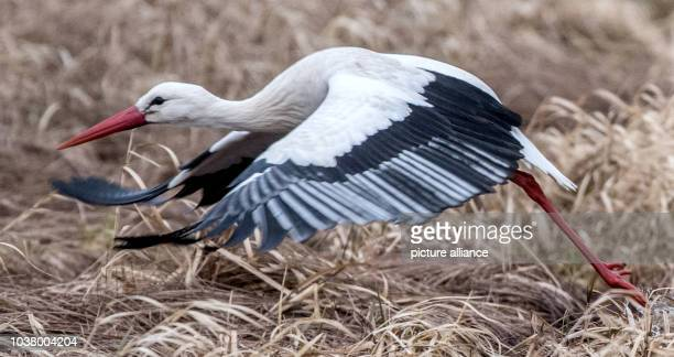 A white stork flies above a wet meadow near GrossGerau Germany 24 February 2015 The GrossGerau districts is home to the biggest colony of breeding...