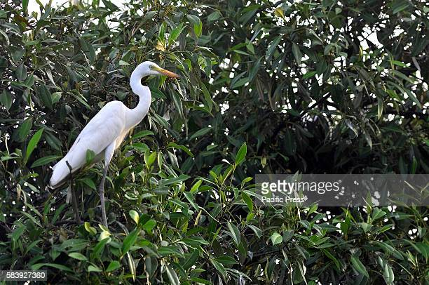 White stork habitat in Indonesia threatened with extinction it is in line with the weather anomaly that occurs in a country which is right on the...