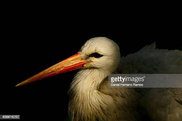 White Stork headshot close up at sunset with black background.Ciconia ciconia