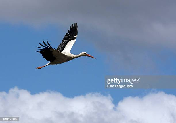 White Stork (Ciconia ciconia) in flight, Alsace, France, Europe