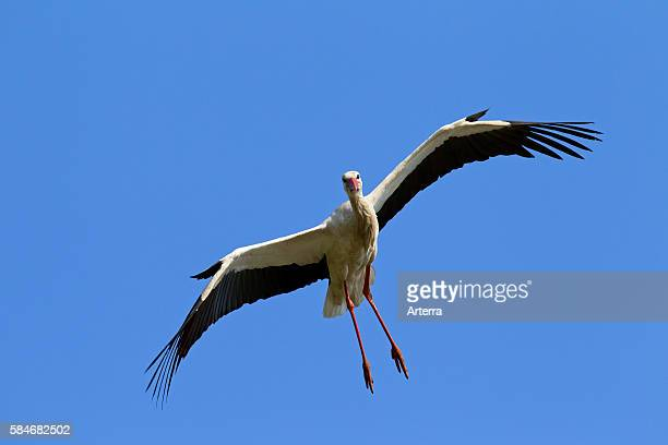 White Stork in flight and landing with wings spread against blue sky